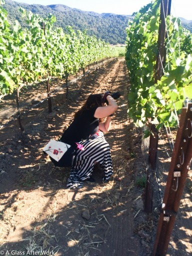 Photographing grapes in the vineyard at Sandford Winery