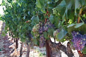 Grapes in Ghielmetti Estate Vineyard
